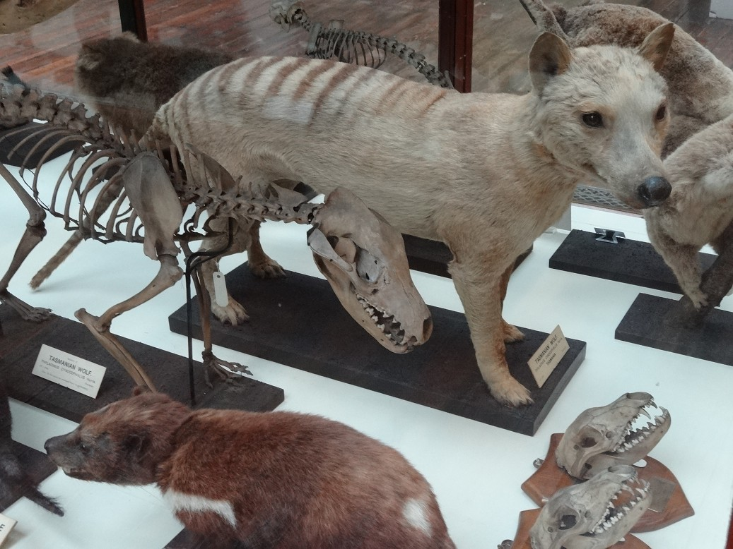 Beutelwolf Lebt